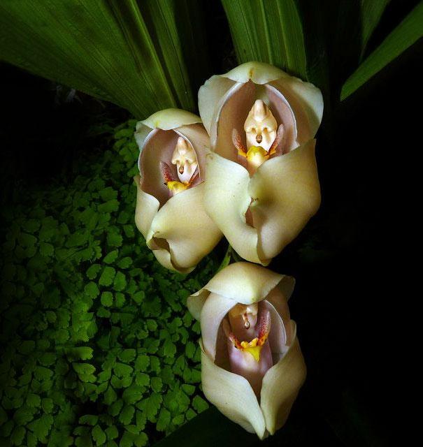 Inlindade bebisar (Anguloa Uniflora).
