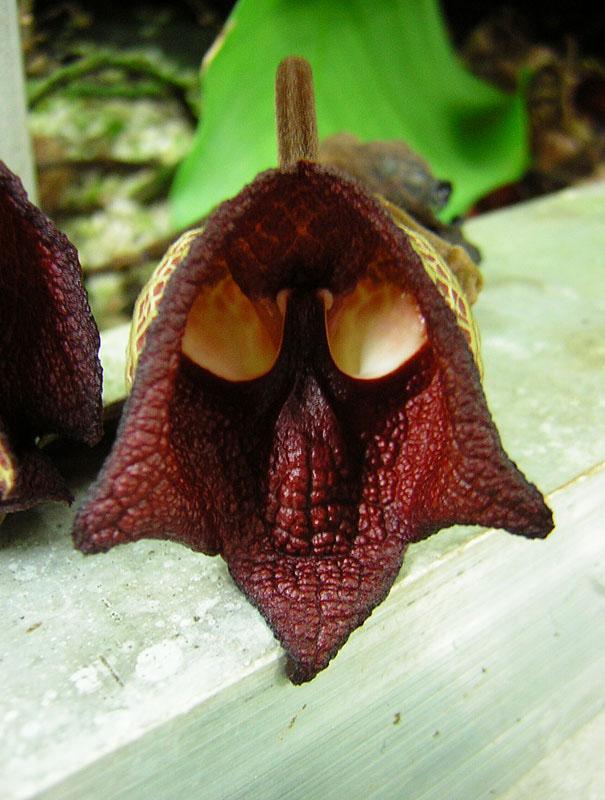 Denna blomma liknas vid Darth Vader (Aristolochia Salvadorensis).