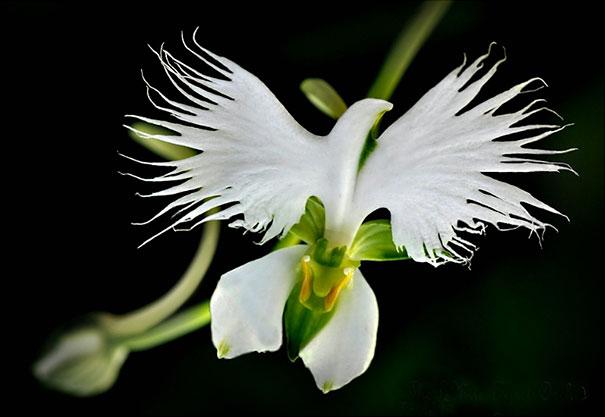 Denna orkidé liknar en fredsduva (Habenaria Radiata).