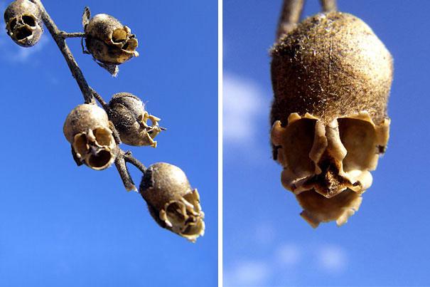 Frökapslarna från Lejongap ser ut som dödskallar (Antirrhinum).