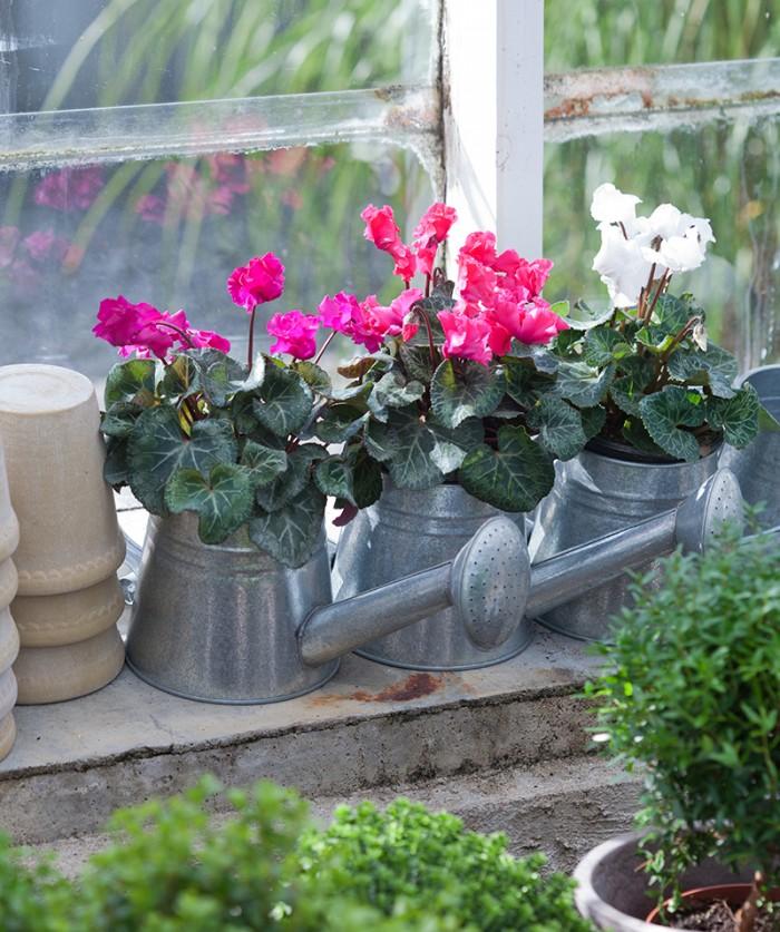 Bästa stället! Cyklamen älskar att stå svalt. En veranda, frostfritt växthus, inglasad balkong eller uterum är perfekt.