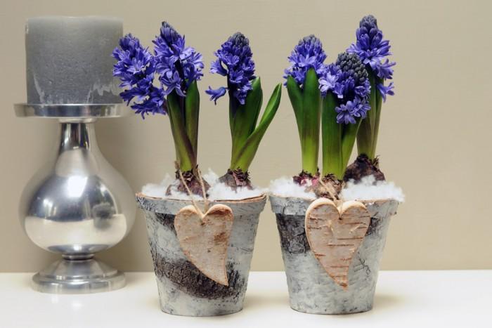 Blå hyacinter i krukor av bark.