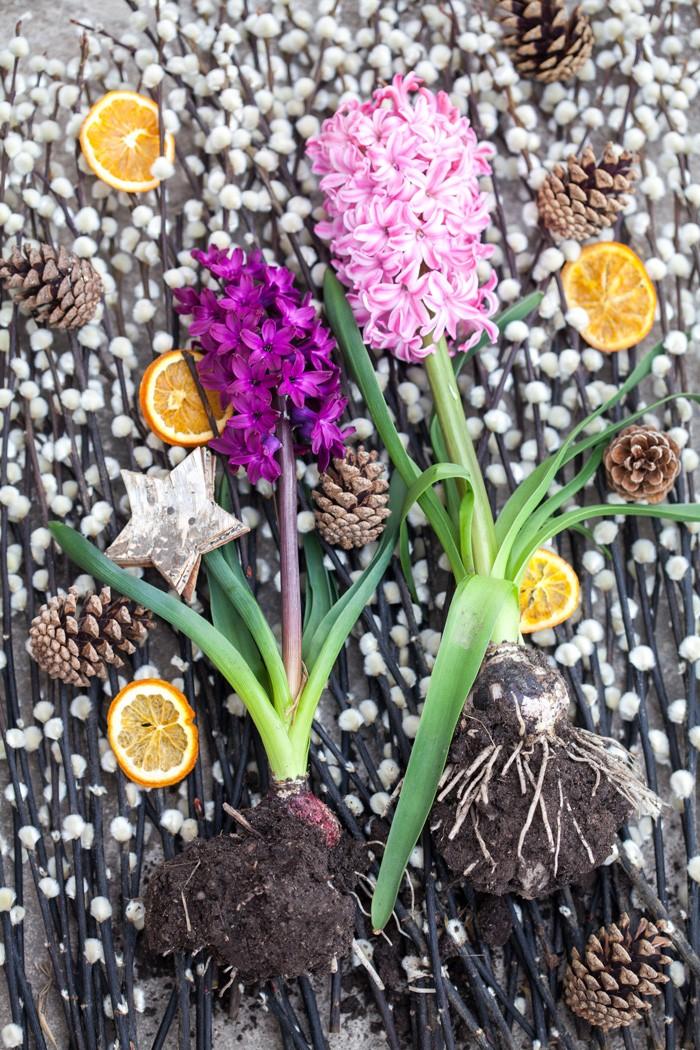 Torkade apelsinskivor och kottar är roliga accessoarer till hyacinten.