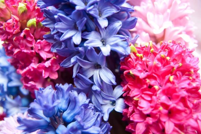 Hyacinter i närbild. Foto: Blomsterfrämjandet