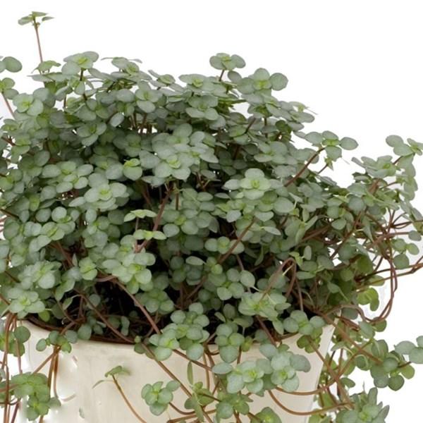 inneväxter som trivs i skugga