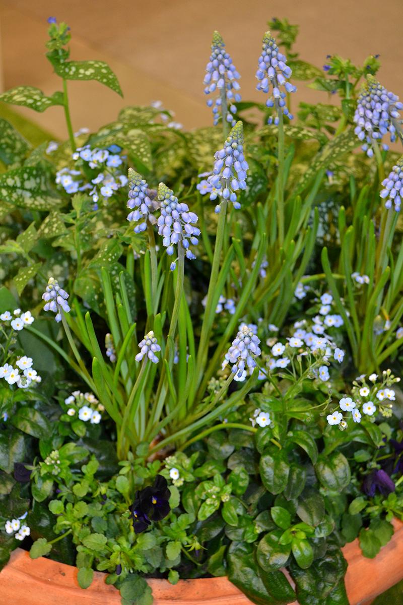 växter som tål frost