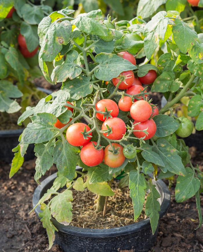 tomater-planta