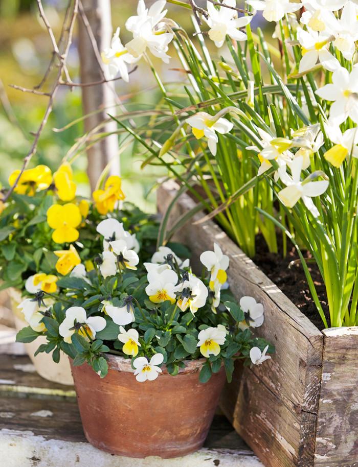 Vårkänslor. Vita och gula blommor är skirt och vackert. Här växer påskliljor och penséer.