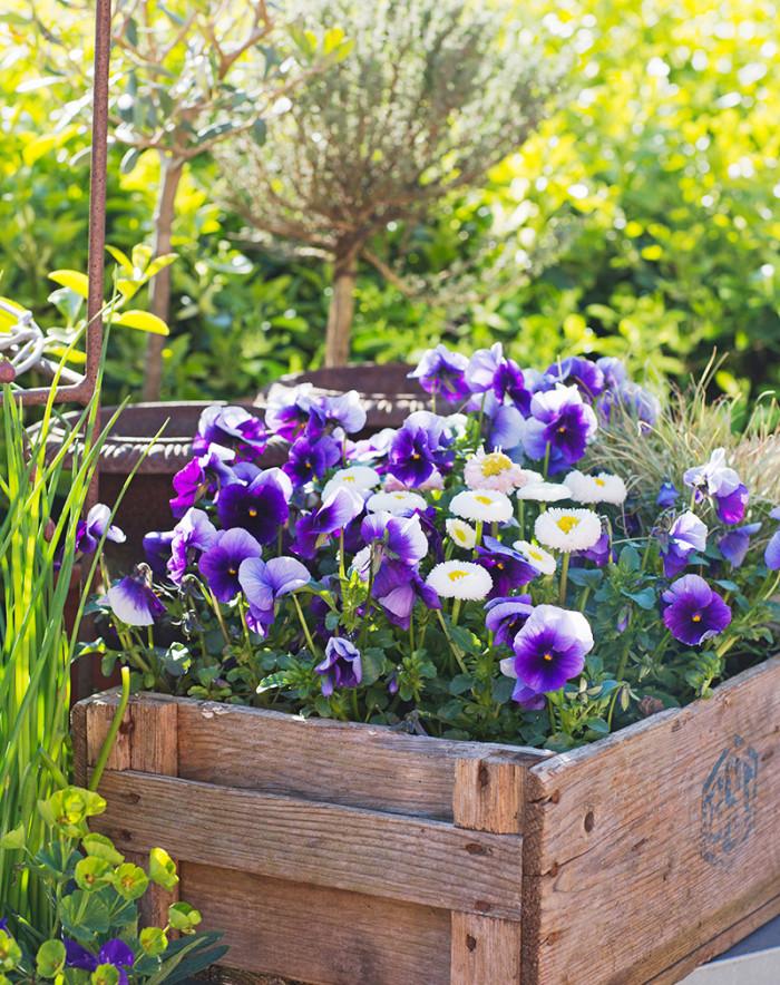 Tät plantering. Penséer, bellis och prydnadsgräs är fina i den gamla trälådan. Det är snyggt att plantera i olika lådor, korgar, krukor och andra kärl. Ta vad du har.