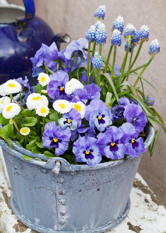 Blåvitt. Små blå penséer har fått fint sällskap av bellis och pärlhyacinter. Att blanda olika blommor i en kruka blir snyggt.