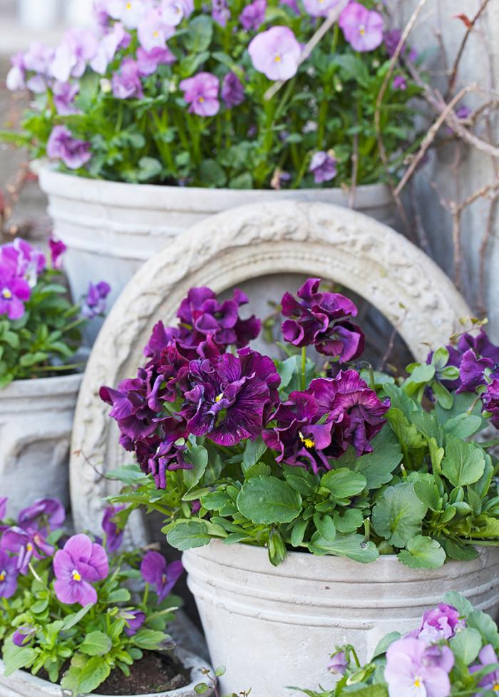 Lila skönheter. Mörklila och ljuslila blommor är vackra mot de grå krukorna.