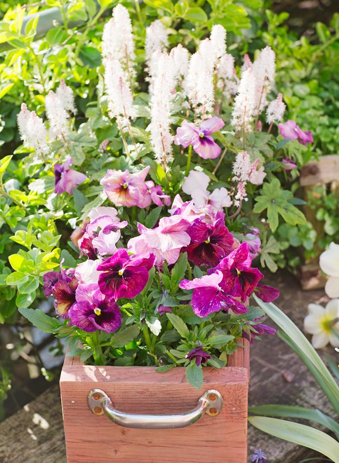 Fina former. Röda, platta penséerna kontrasterar fint mot de höga vita blommorna på växten som heter spetsmössa.