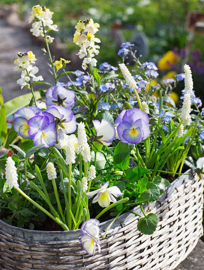 Kompisväxter. Vita pärlhyacinter, vit gyllenlack, förgätmigej och blåvita penséer tål alla frost och passar ihop.