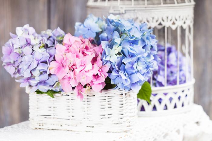 Hortensia finns i många fina färger. Foto: Shutterstock