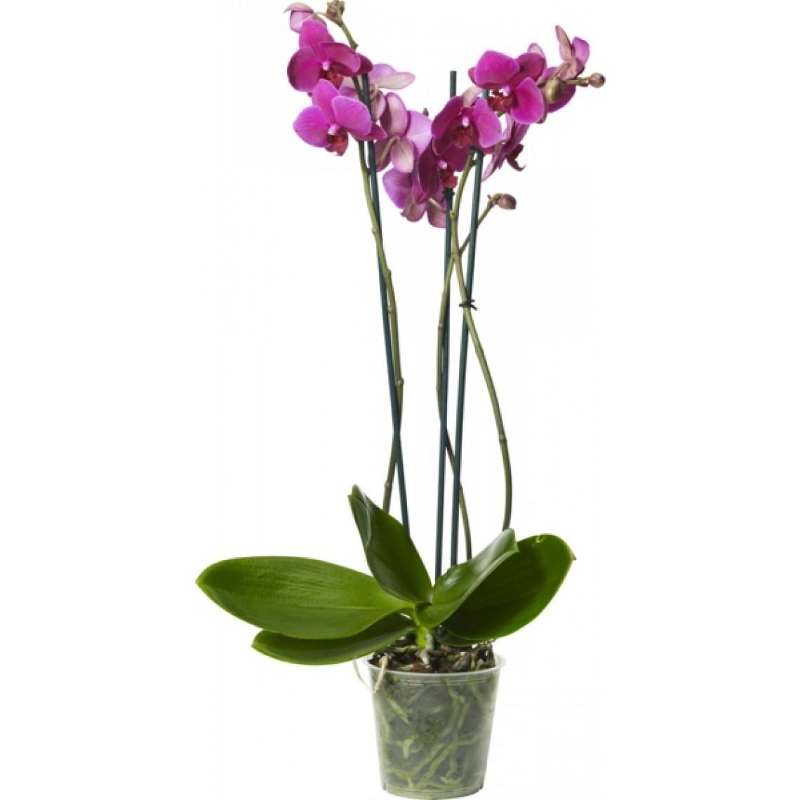 vanliga blommor inomhus