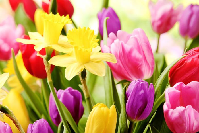 Röda och rosa tulpaner. Foto: Blomsterfrämjandet