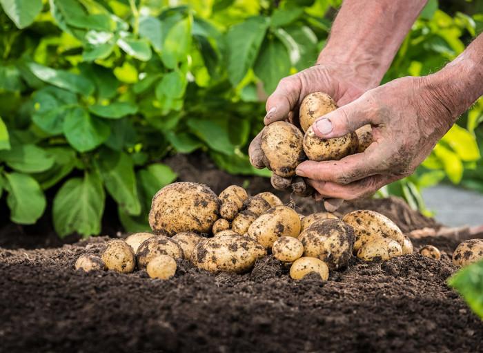 Odla din egen potatis - på balkongen! Foto: Shutterstock