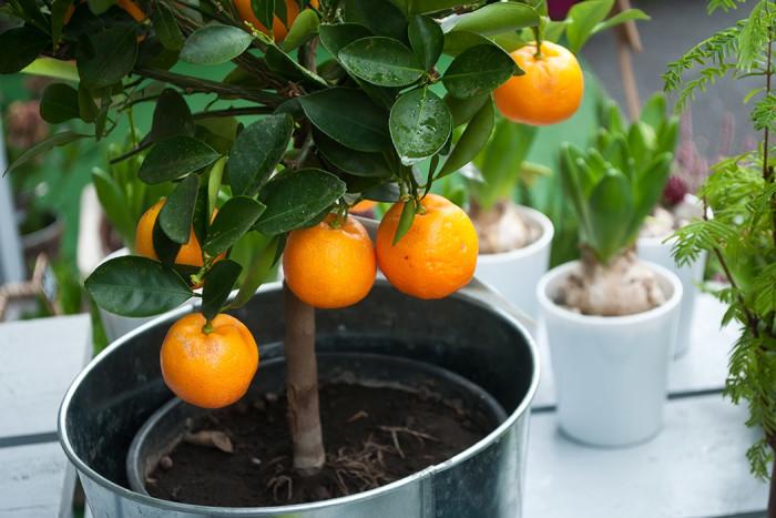 Kalamondinträd med miniapelsiner. Foto: Shutterstock