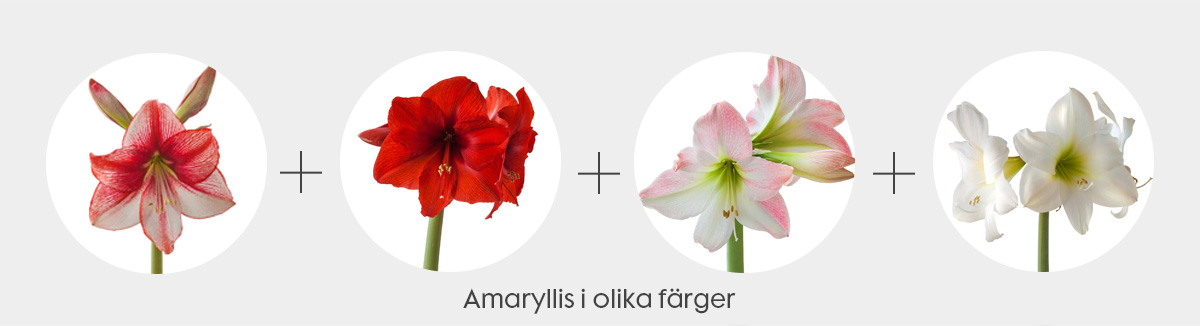 snittblommor-kombo-amaryllis