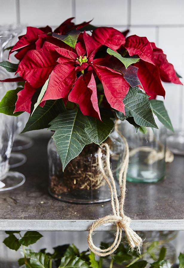 julstjarna-dekorera-snittblomma5