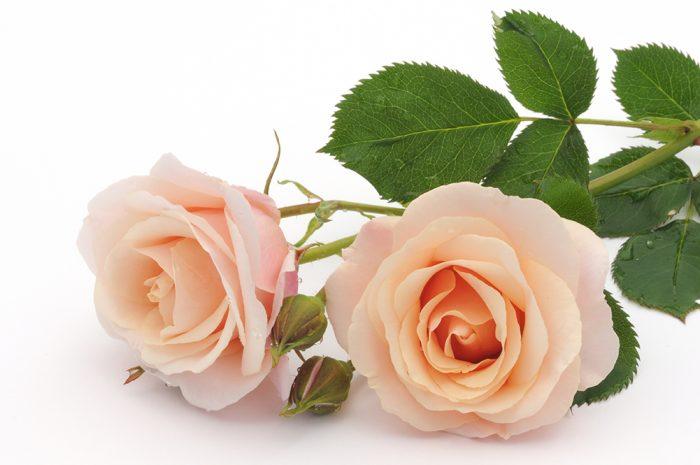 rosornas färger betyder
