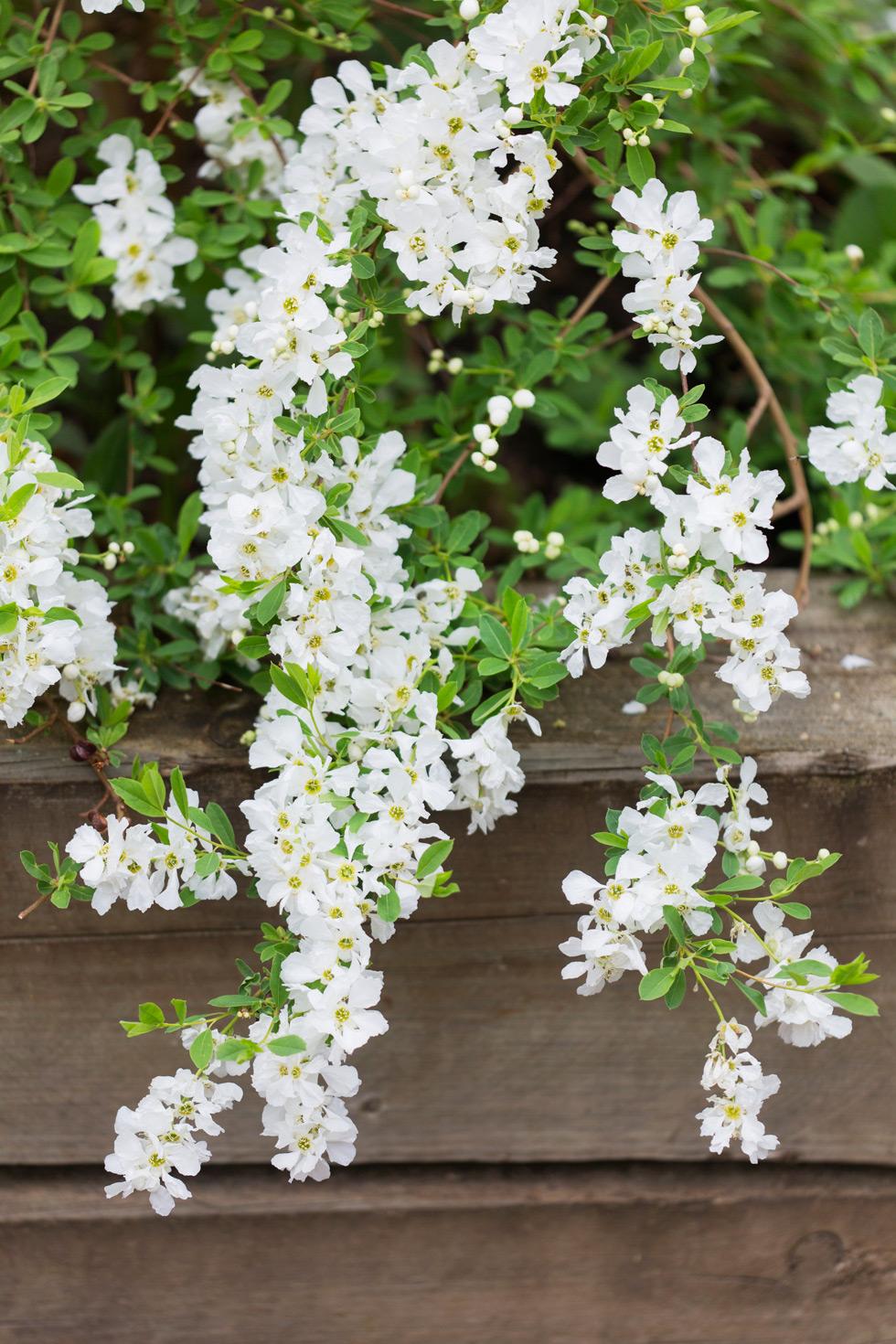 blommande buskar bilder