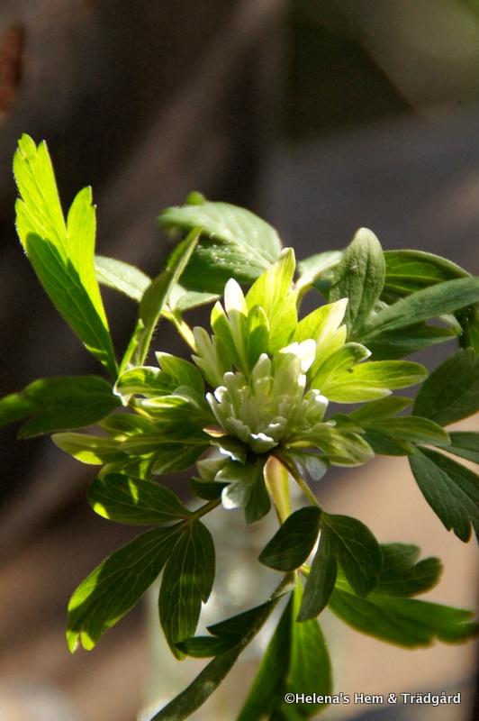Anemone nemorosa 'Virescens'
